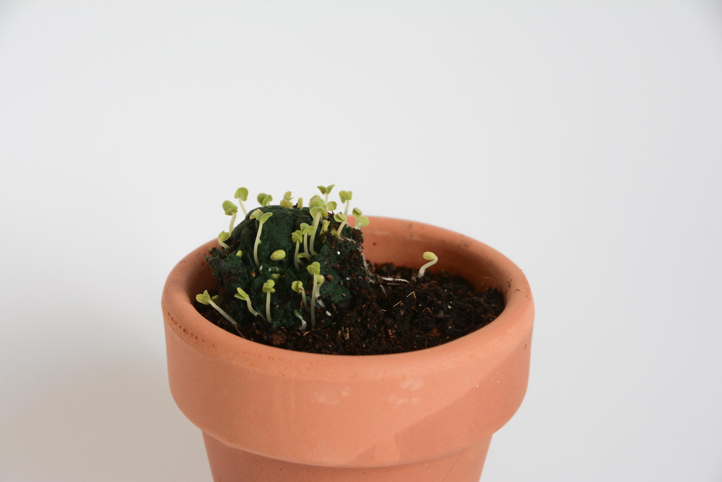 regalo de empresa plantable bomba de semillas germinando