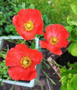 papel semillas plantable amapola