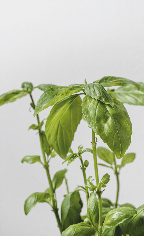 basil seed pencil planting instructions