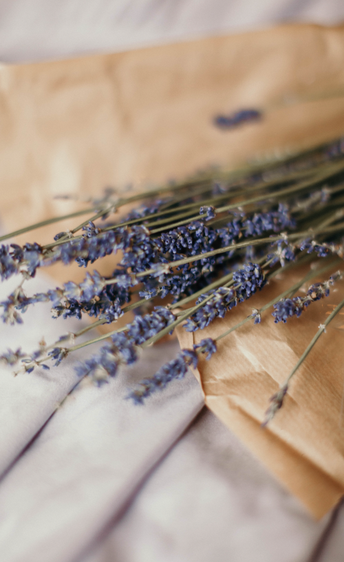 how to plant little lavender tree