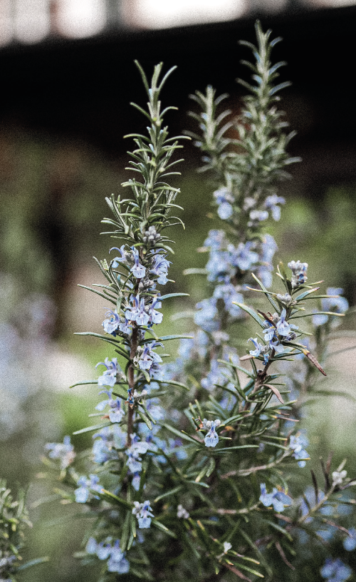 how to plant little rosemary tree